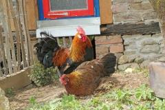 160522 Hühner (10)